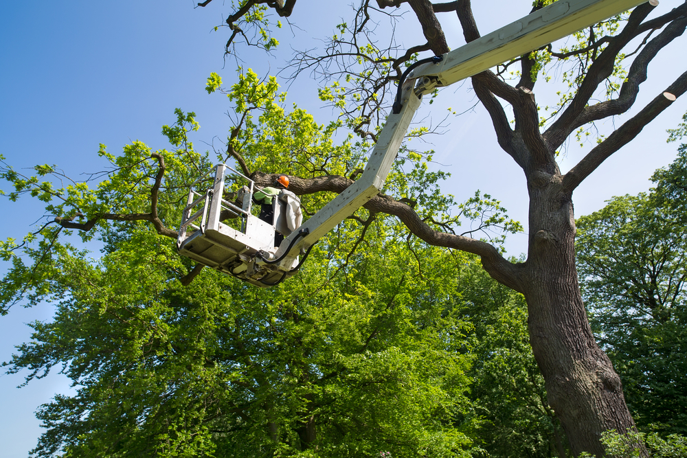 Trimming Trees in Minnesota